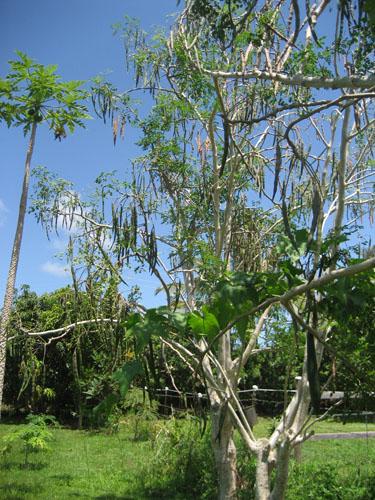 มะรุม ต้นมะรุม