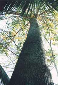 ต้นตะกูยักษ์