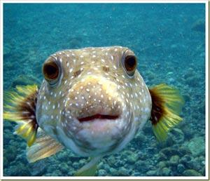 Puffer Fish - ปลาปักเป้า