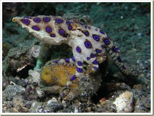 Blue-Ringed Octopus - ปลาหมึกแหวนน้ำเงิน