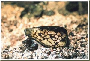 Marbled Cone Snail -หอยเต้าปูนลายหินอ่อน