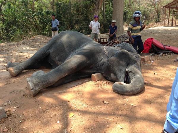 ช้างหัวใจวายดับ หลังถูกบังคับแบกนักท่องเที่ยว