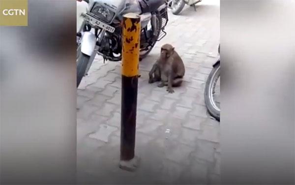 ชาวบ้านสุดปวดหัวถูกลิงขโมยดูดนำมันรถจักรยานยนต์ ดูดน้ำมันเกลี้ยงถัง