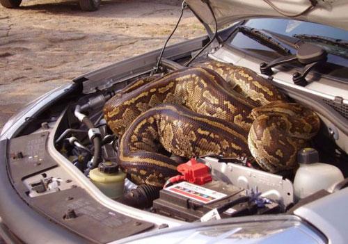 สามีภรรยาอังกฤษผงะ! งูหลาม 5 ม. นอนขดในกระโปรงรถ