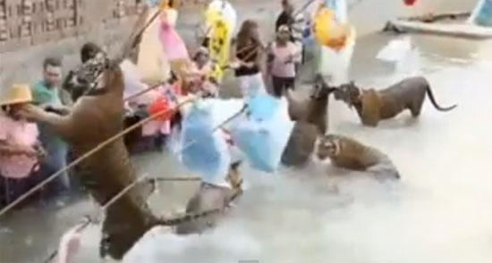 สื่อนอกแฉวัดเสือทารุณสัตว์ จับเสือมาวางยาเล่นกับคน