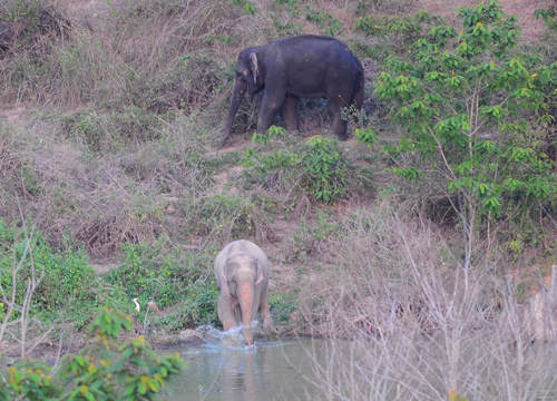 ช้างเผือก