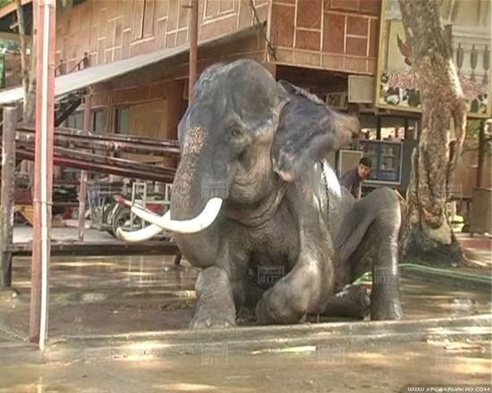 พลายบิ๊ก ช้างทำร้ายพยาบาล ดับ เจ้าของวังช้าง ทำพิธี ตัดงาพลายบิ๊ก