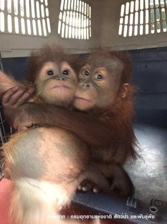 ล่อซื้อลูกลิงอุรังอุตัง 2 ตัว