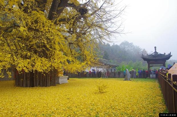 ต้นแปะก๊วยพันปีผลัดใบ ในวัดจีน