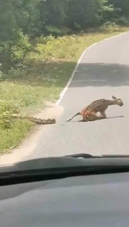 งูรัดกวาง