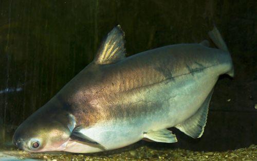ปลาสวาย