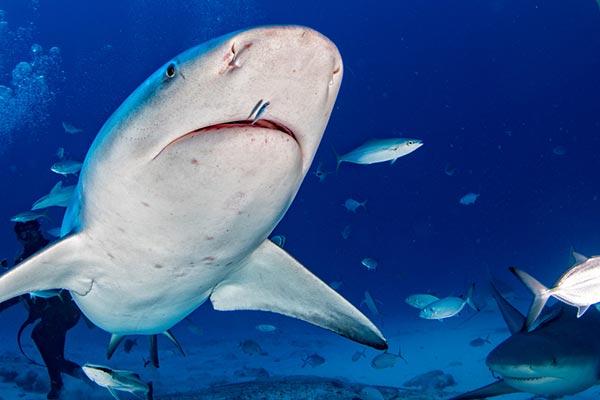 ฉลามหัวบาตร