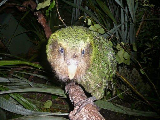 นกแก้วสายพันธุ์กากาโป