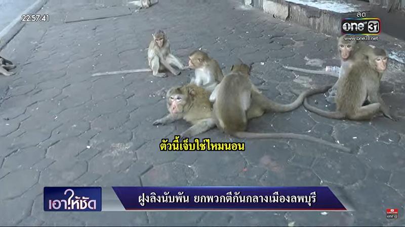 สัมภาษณ์ลิงยกพวกตีกัน