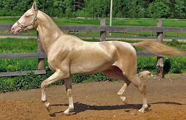 ม้าสายพันธุ์หายาก