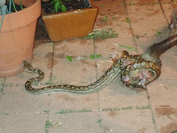 พอสซัมสู้กับงู