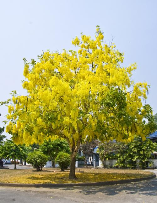 ดอกราชพฤกษ์ ดอกไม้ประจำชาติไทย