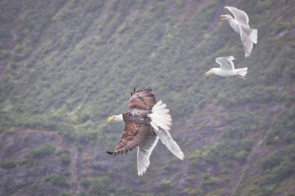 นกนางนวลไล่จิกนกอินทรีย์