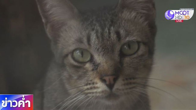 โรคจากหมัดแมว