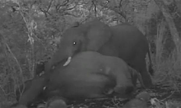 ช้างกลุ่มนี้พยายามปลุกเพื่อนให้ฟื้น หลังถูกฆ่าเอางา