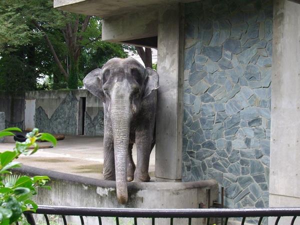 """คนรักสัตว์วอนช่วย """"ฮานาโกะ"""" ช้างไทยในญี่ปุ่น อยู่เดียวดายในกรงคอนกรีตมากว่า 66 ปี"""