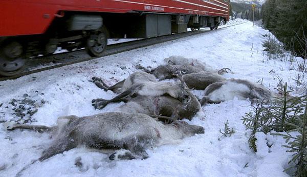 ผลการค้นหารูปภาพสำหรับ ฝันร้ายรับคริสต์มาส เรนเดียร์กว่า 100 ตัว ถูกรถไฟชน ตายเกลื่อนตลอดทางหลาย กม.