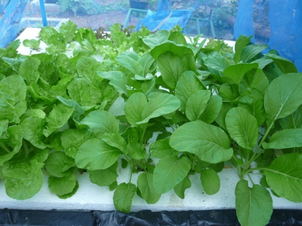 ง่ายจริงนะ! ปลูกผักไฮโดรโปนิกส์ปลอดสารพิษด้วยตัวเอง