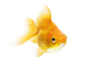 ปลาทองริวกิ้น